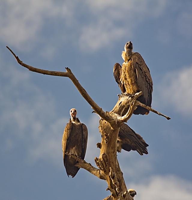 Etiopia, sępy
