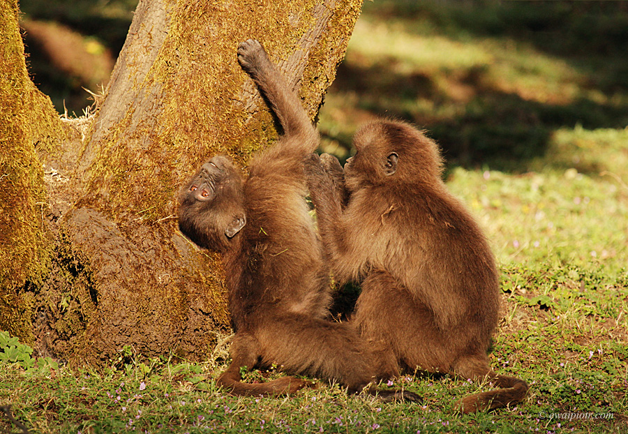 Dżelady w Etiopii, Góry Semien, dwie młode małpy