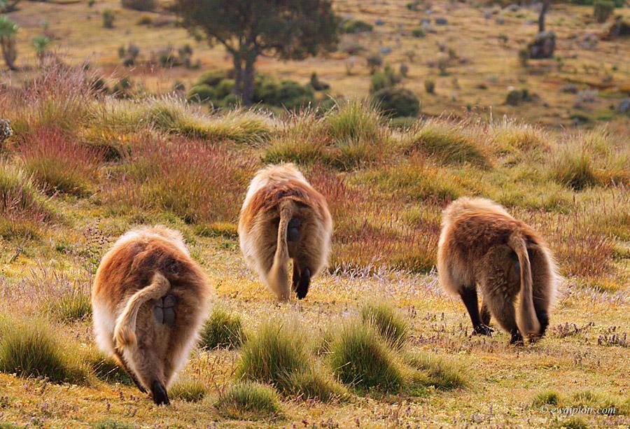 Dżelady, Etiopia, trzy, odchodzą,- tyłem, małpy