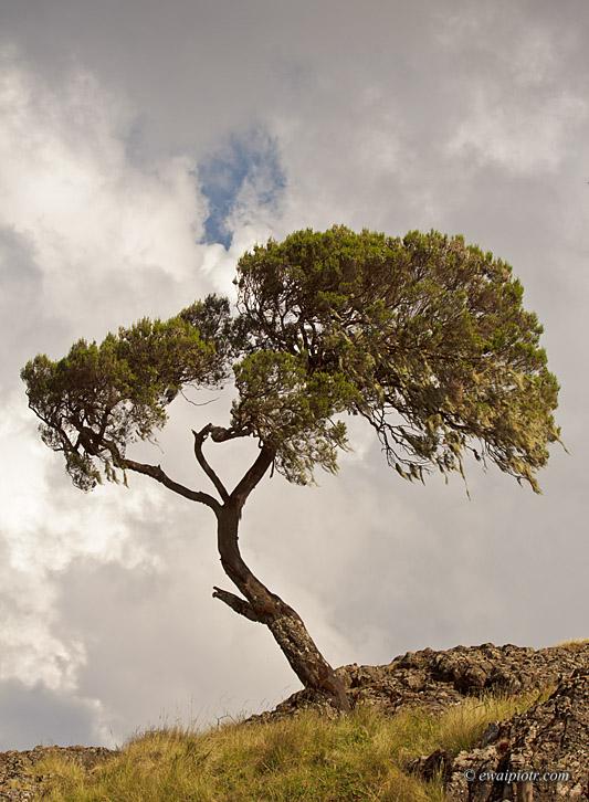 Etiopia, Góry Siemen, drzewo
