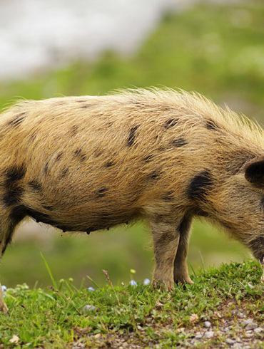 świnia domowa, Uszguli, Gruzja