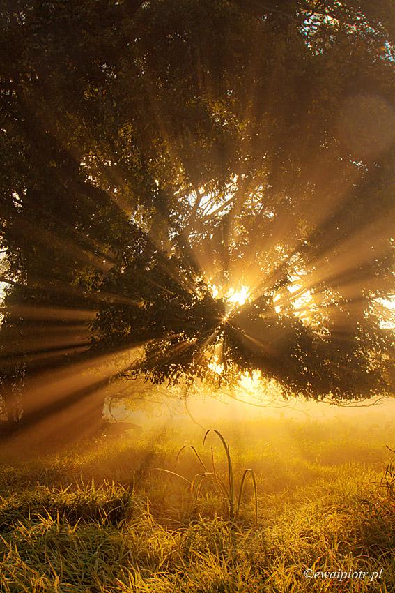 Warsztaty fotograficzne Rogalin, światło przez liście dębu