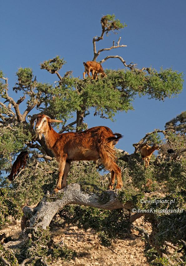 Kozy na drzewie arganiowym