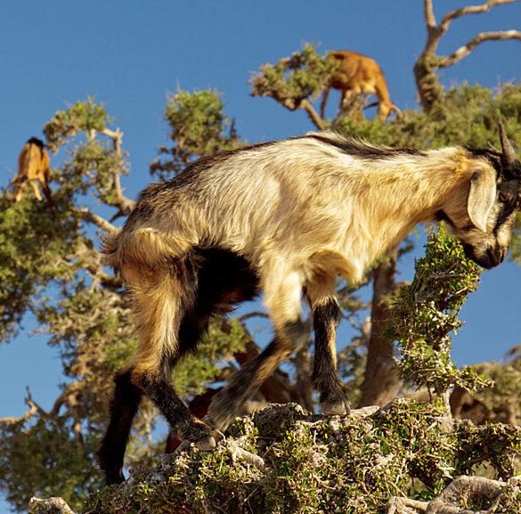 Kozy na drzewie, Maroko