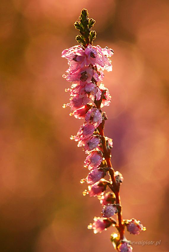 kwitnący wrzos