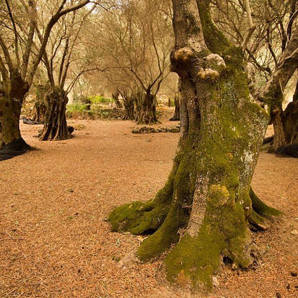 gaj oliwny, Kreta