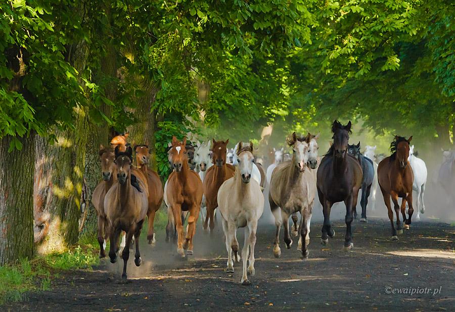konie arabskie, Michałów