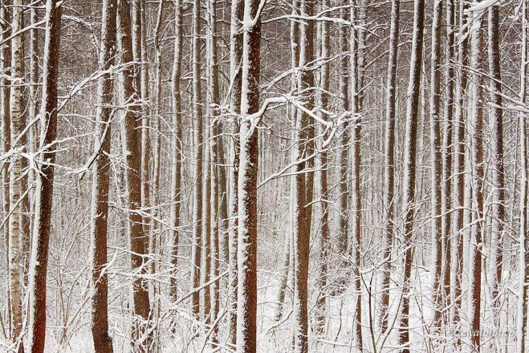 Las czy drzewa: Białowieża