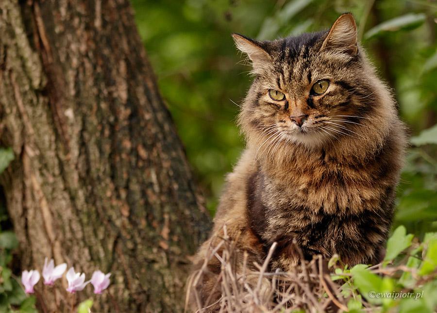Kot toskański