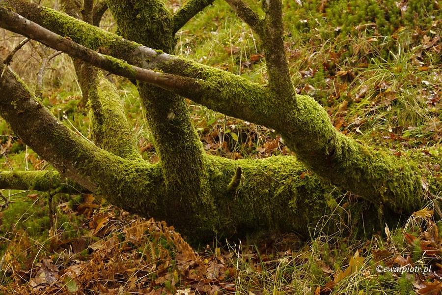 Drzewo ocieplone mchem, Szkocja