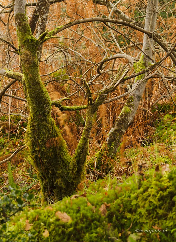 Drzewo butelkowe, Szkocja