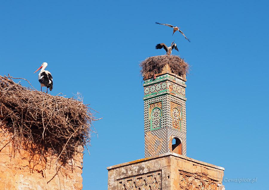 Bociany na twierdzy Chellah, Maroko
