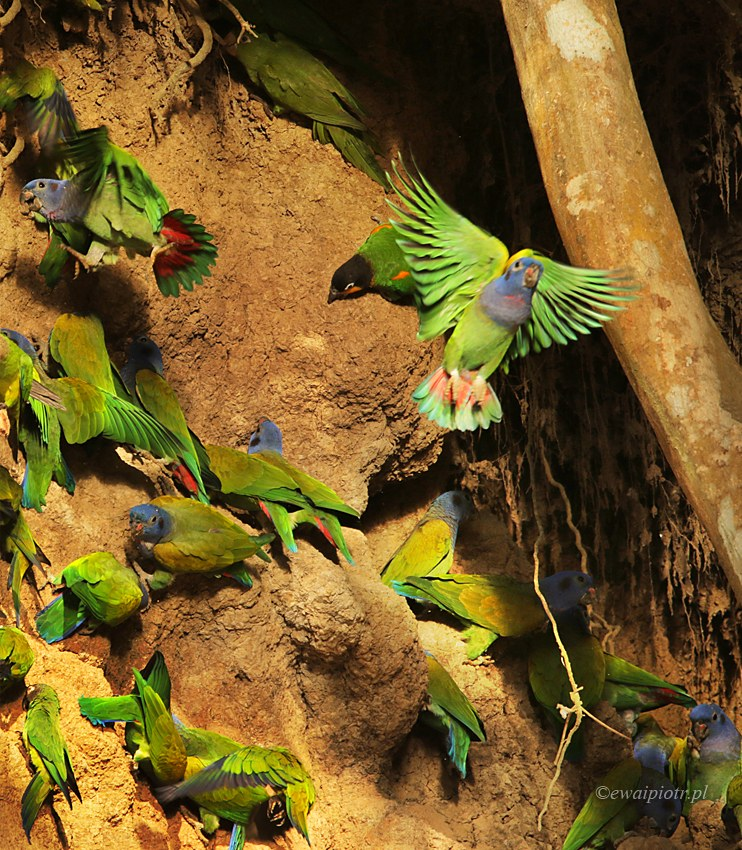 Papugi, dużo papug. Peru