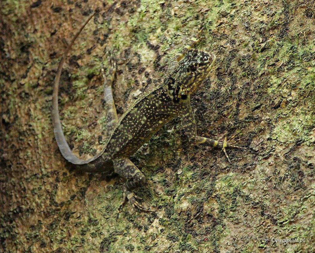 Mimikra w dżungli, Peru