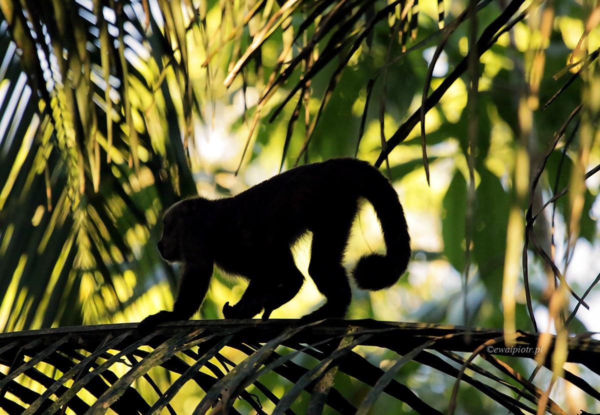 Ukrywając się wśród liści. Peru