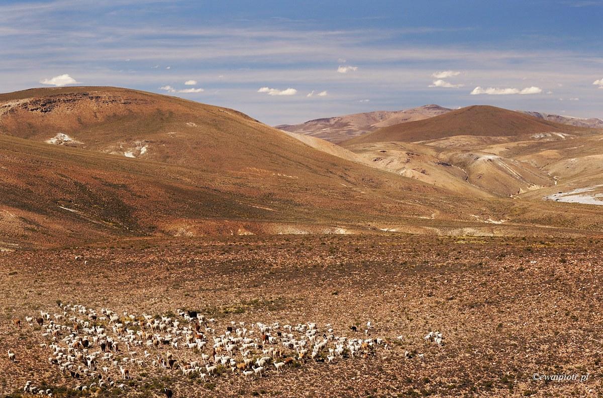 Wikunie w górach Peru