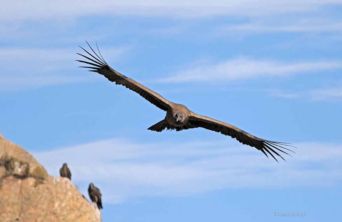 Kondor w locie i dwa siedzące, Peru