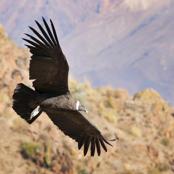 kondor w locie, Peru