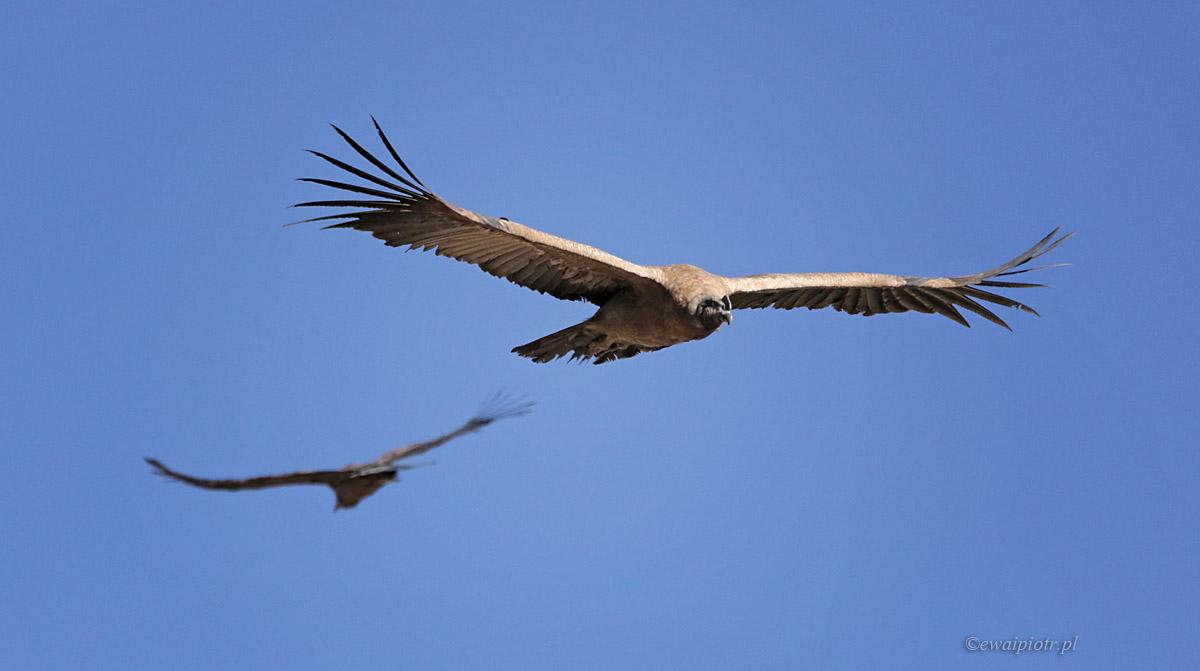 kondory dwa, Peru