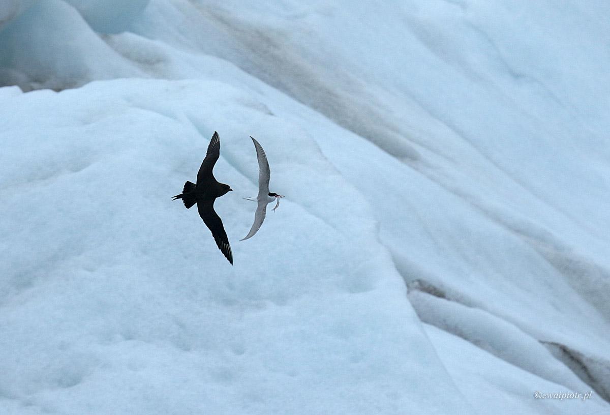 Wydrzyk i rybitwa, Islandia