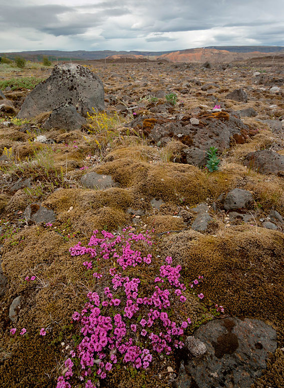 Islandzkie kwiatki I - ultraszeroko z bliska