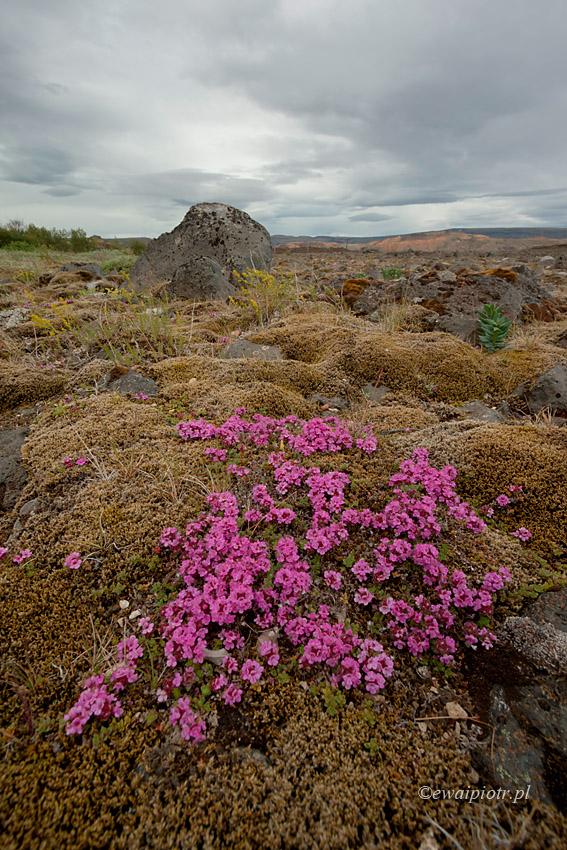 Islandzkie kwiatki III - ultraszeroko z bardzo bliska