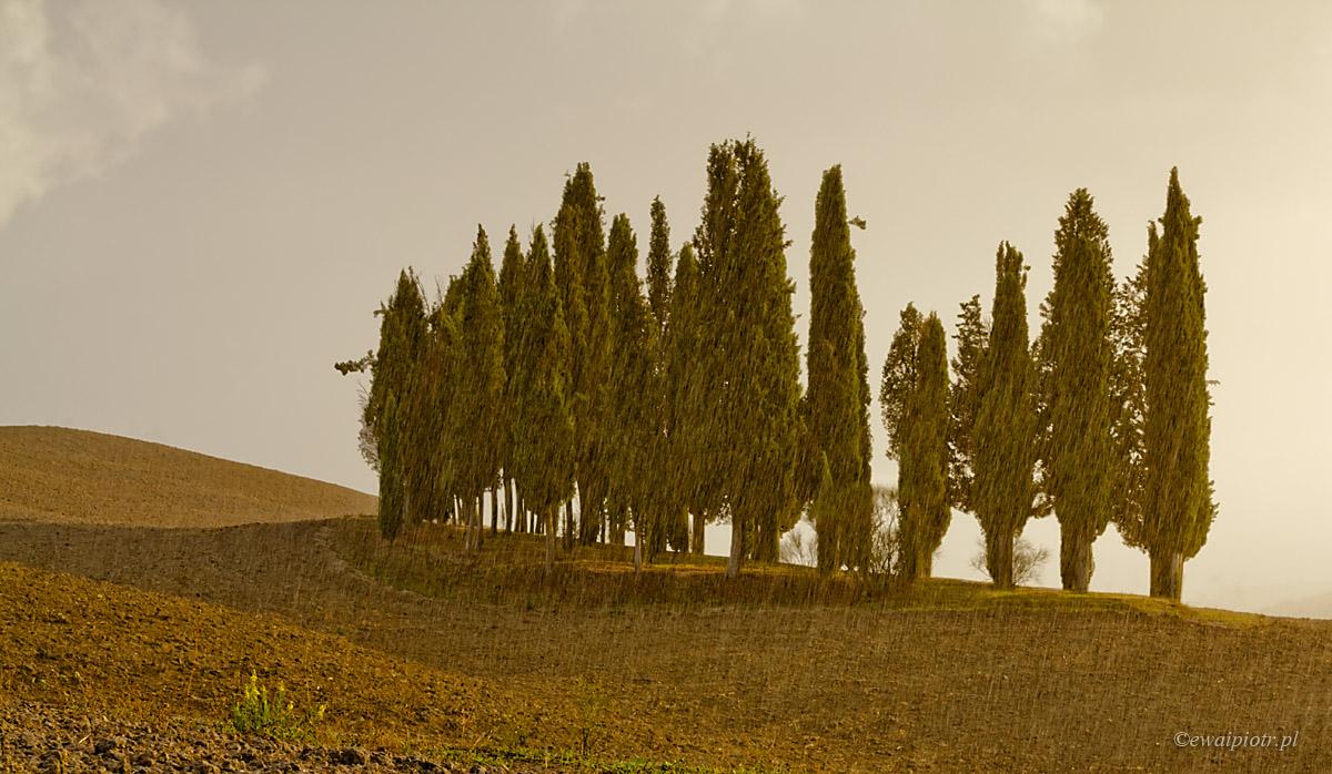 cyprysy w deszczu, Toskania