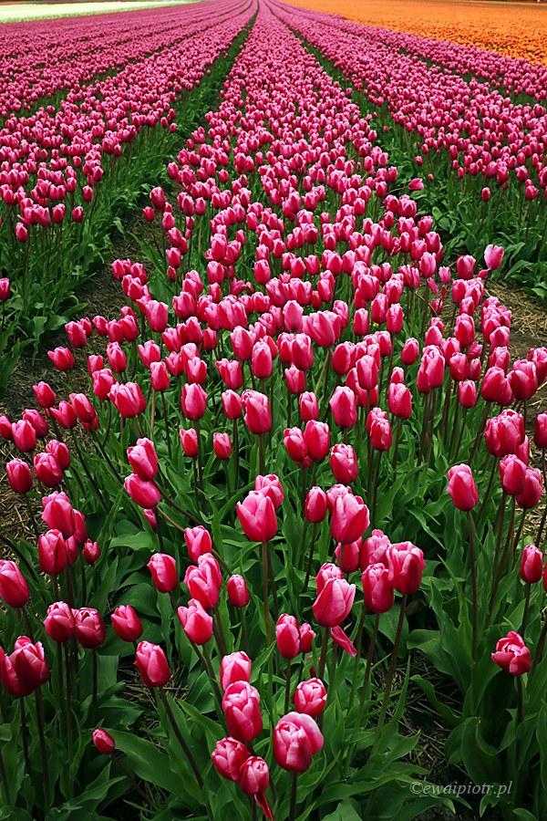 Pole tulipanów, Holandia