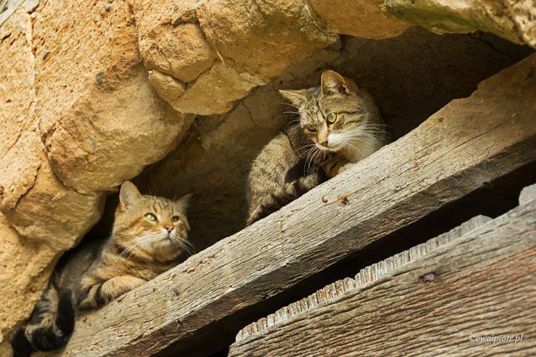 Koty z Pitigliano, Toskania