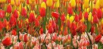 Holandia – wiatraki i tulipany – kwiecień 2018 Holandia – wiatraki i tulipany – kwiecień 2018