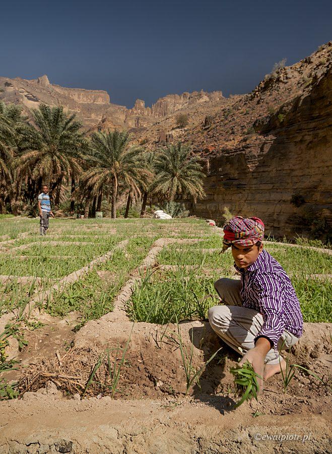 Uprawa roli w Wadi Nakhar, Oman