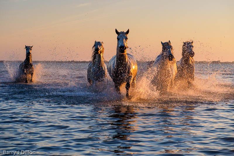Fotowyprawa Prowansja 2018, konie z Camargue