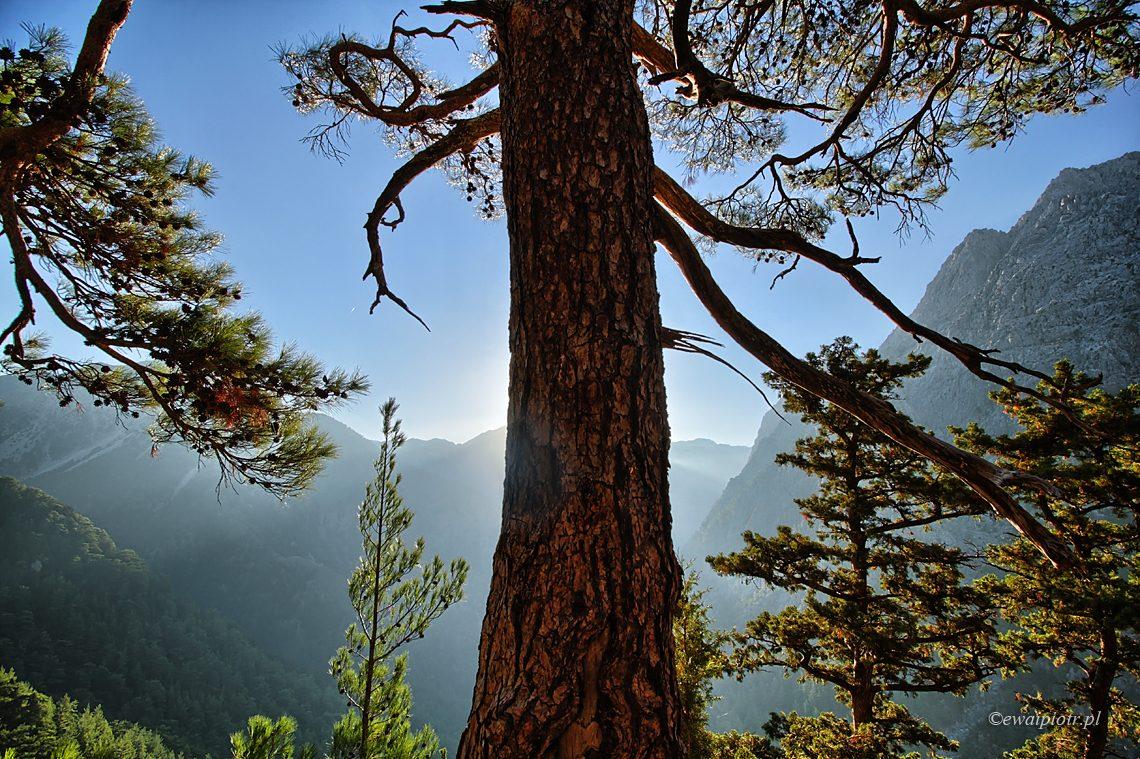 Drzewo w wąwozie Samaria, Kreta, poradnik jak kupić obiektyw do Nikona