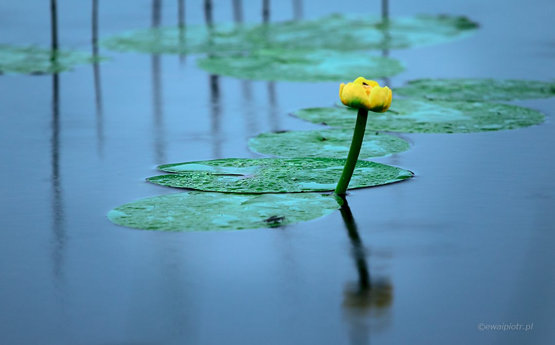 Grążel żółty, kwiat w wodzie, Czarowne Świętokrzyskie, warsztaty fotograficzne