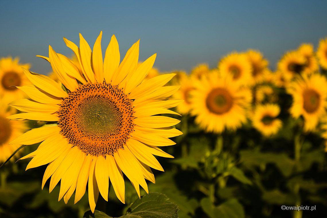 Słoneczniki, fotowyprawa do Prowansji