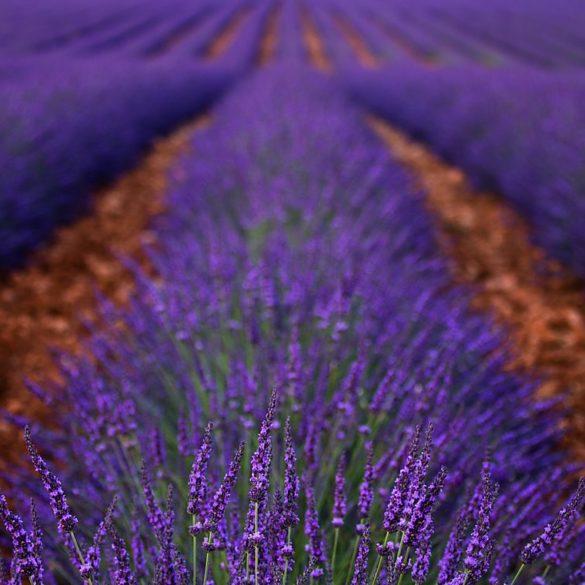 pole lawendy, fotowyprawa do Prowansji, Francja