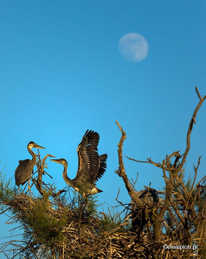 Czaple na drzewie na tle księżyca, fotowyprawa do Prowansji