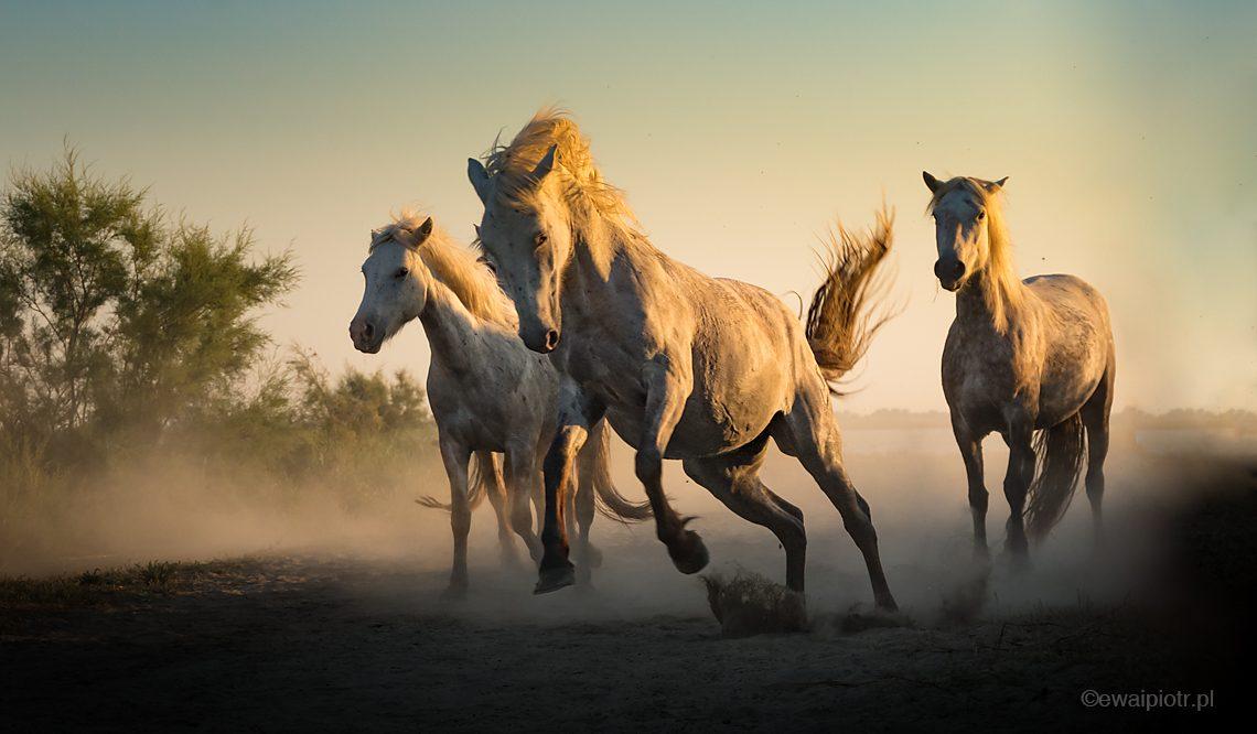 Konie w galopie, białe konie Camargue, warsztaty fotograficzne Prowansja