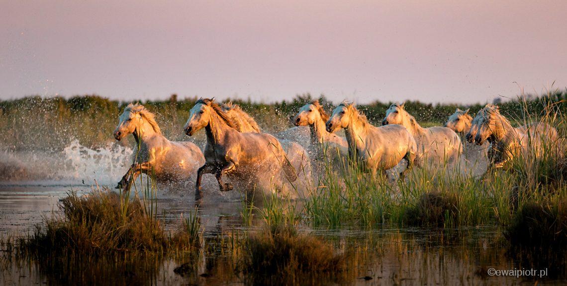 konie z Camargue, galop przez mokradła Camargue, Prowansja, Francja