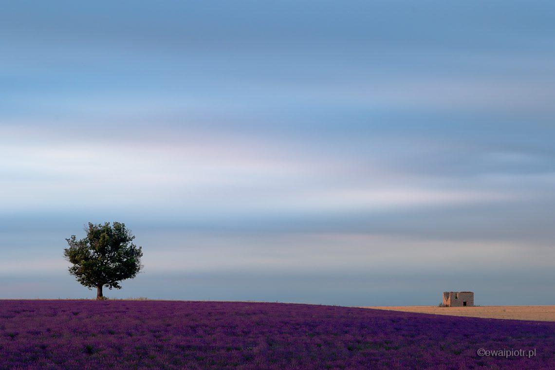 Drzewo na polu lawendy, Prowansja, warsztaty fotograficzne
