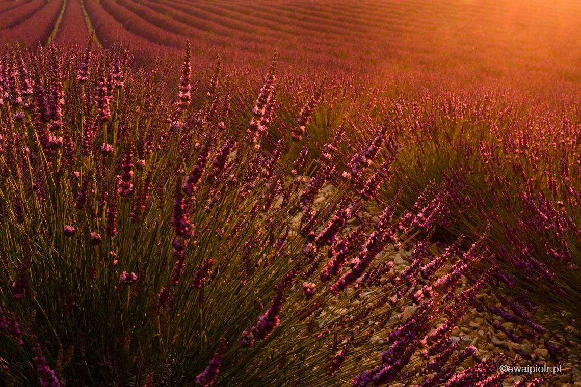 Lawenda, światło kontrowe, pod słońce, fotowyprawa Prowansja