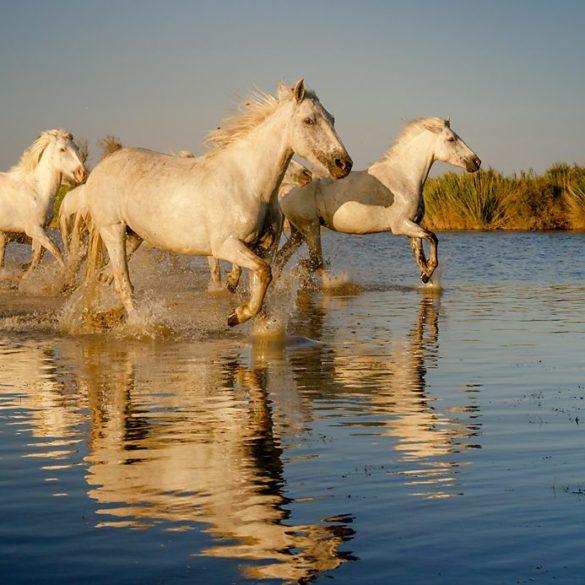Konie biegnące po wodzie, lekki aparat fotograficzny, Camargue, Francja, odbicie koni w wodzie