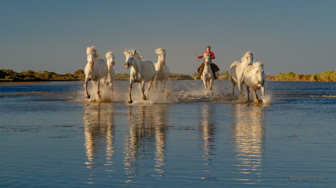 Białe konie z Camargue, Fotowyprawa Prowansja