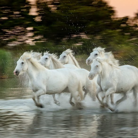 Białe konie, ruch, impresja, Ernst Haas