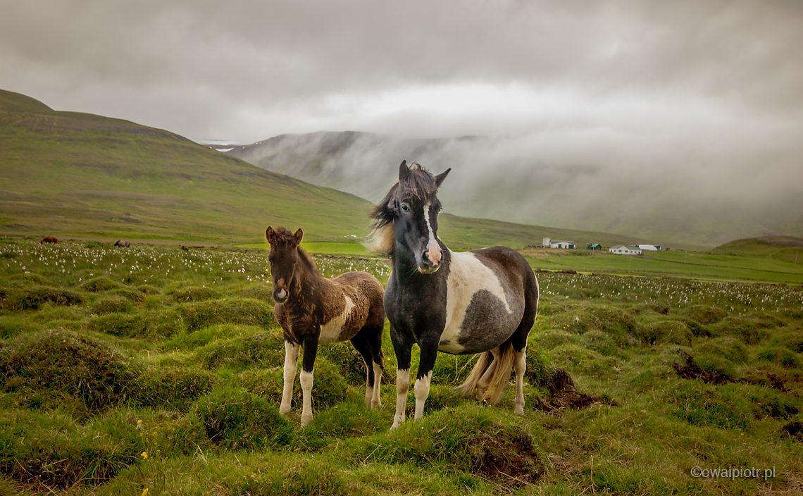 Islandzkie konie, Islandia