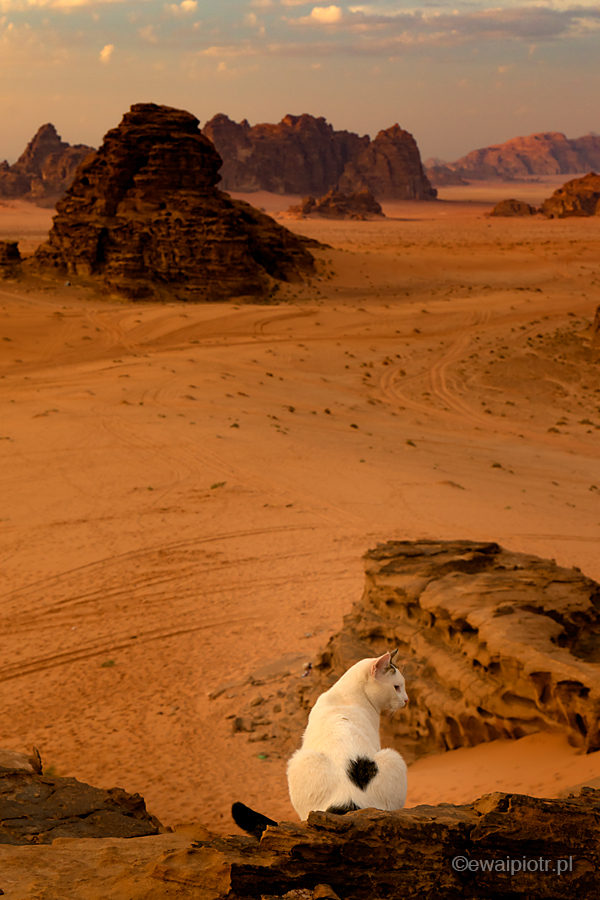 Kot i pustynia Wadi Rum, Jordania