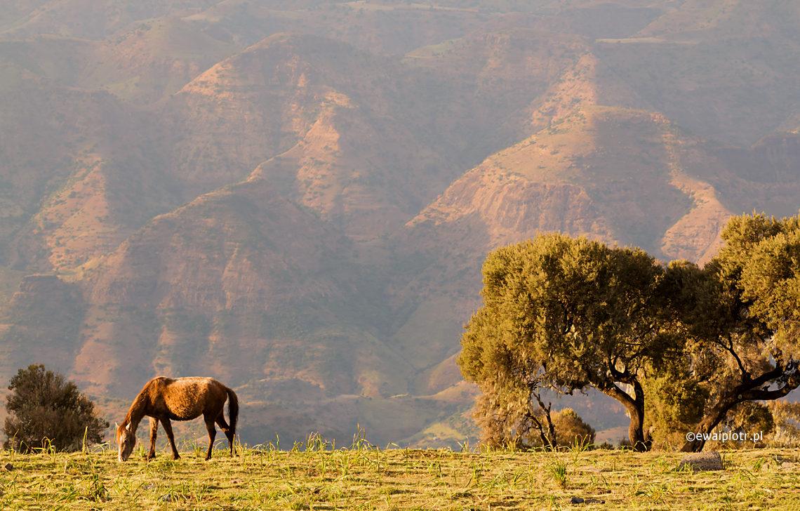 Konie w górach Siemien, Etiopia
