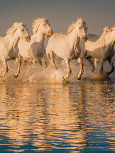 Prowansja, konie, Camargue, galop po wodzie, odbicie, warsztaty fotograficzne