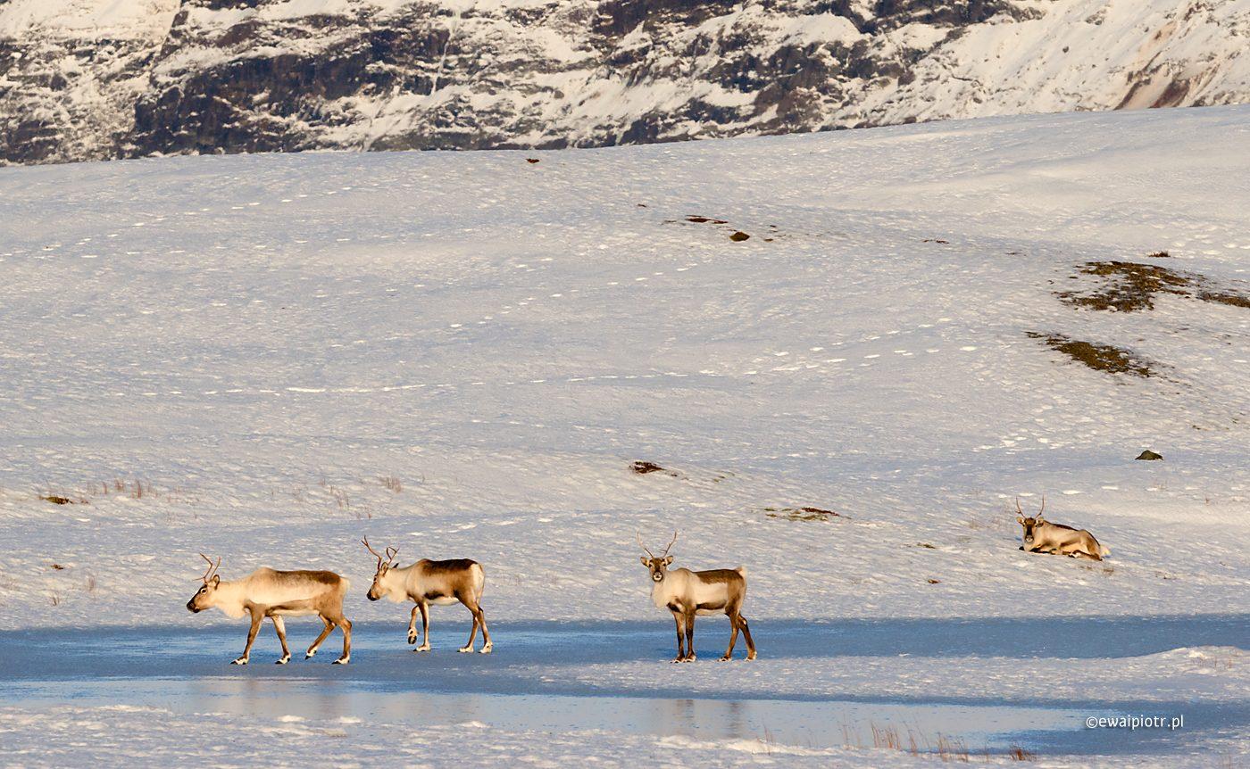 Renifery na Islandii, popraw szczegóły
