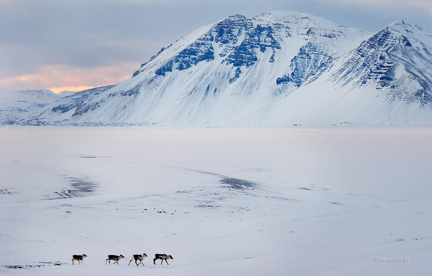 Renifery i światło Islandii